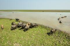 水牛(Busbalus Bubalis)在watland, Thale Noi, Phatthalu 库存图片