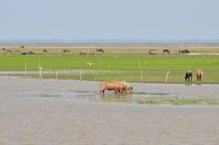 水牛(Busbalus Bubalis)在watland, Thale Noi, Phatthalu 免版税图库摄影