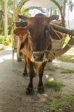 黄牛cartfor人运输在拉迪格岛海岛,塞舌尔群岛 免版税图库摄影
