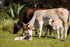 牛VII 库存图片