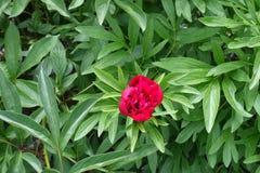 牡丹半被打开的红色双重花  库存照片