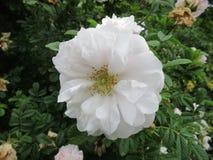 牡丹和玫瑰2 免版税库存图片