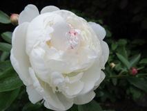 牡丹和玫瑰3 免版税库存图片