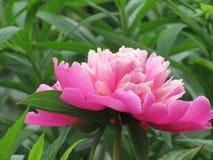 牡丹和玫瑰4 免版税库存照片