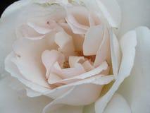 牡丹和玫瑰6 库存照片