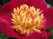 牡丹和玫瑰7 免版税图库摄影