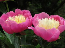 牡丹和玫瑰1 库存照片