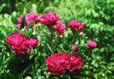 牡丹在庭院里 免版税图库摄影
