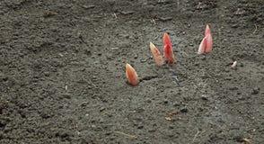 牡丹在早期的春天宏指令发芽了 免版税图库摄影
