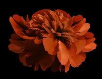 牡丹在被隔绝的黑背景的花红色与裁减路线没有阴影 特写镜头 对设计 库存照片