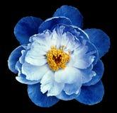 牡丹在黑色的花蓝色隔绝了与裁减路线的背景 自然 特写镜头没有阴影 图库摄影
