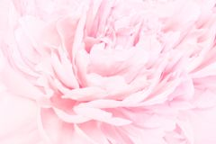 牡丹开花开花精美blured框架 浅深度 贺卡背景 花卉模板 被定调子的软绵绵柔和的淡色彩 库存图片