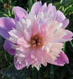 牡丹朱尔斯Elie先生开花的 库存图片