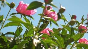 牡丹桃红色美丽的花在庭院里在春天震动风 美丽的芽开花芍药属lactiflora  股票视频