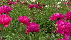 牡丹的开花的明亮的颜色的领域 影视素材