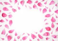 牡丹的桃红色瓣开花说谎在白色背景 库存图片