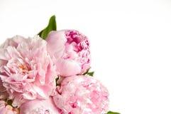牡丹粉红色 免版税图库摄影