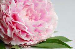 牡丹粉红色 免版税库存图片