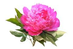 牡丹粉红色 免版税库存照片