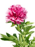牡丹粉红色 库存照片