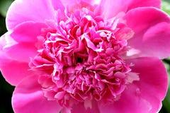 牡丹花明亮的桃红色颜色 免版税图库摄影