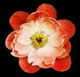 牡丹花白红色在thr黑色隔绝了与裁减路线的背景 自然 特写镜头没有阴影 庭院 免版税库存照片