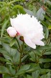 牡丹-白花 库存图片