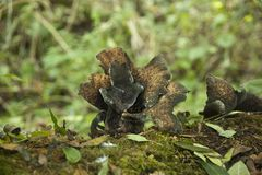 1715牡蛎真菌。成长先进的状态  库存图片