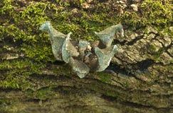 1710牡蛎真菌。 免版税库存照片