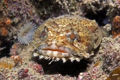 牡蛎蟾鱼 免版税库存照片
