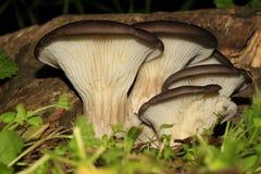 牡蛎moshrooms (Pleurolus oslreatus) 库存图片