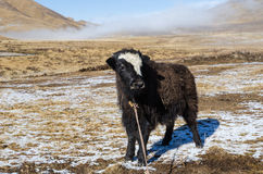 年轻牦牛在一个多雪的高地西藏牧场地站立 免版税库存图片