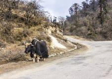 牦牛在不丹 免版税图库摄影