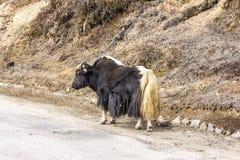 牦牛在不丹 图库摄影