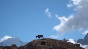 牦牛在喜马拉雅山 影视素材