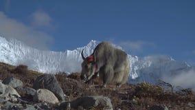 牦牛在喜马拉雅山 股票视频