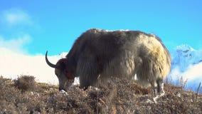 牦牛在喜马拉雅山 股票录像