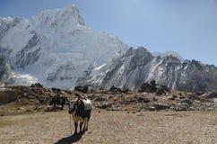 牦牛在尼泊尔的喜马拉雅山 免版税图库摄影