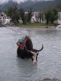 牦牛在有瀑布的Moon湖在云南 免版税库存图片