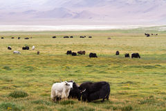 牦牛在草甸成群反对喜马拉雅山山 免版税库存图片