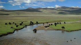 牦牛在西藏牧场地 免版税库存照片