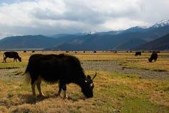 牦牛在5月 库存图片
