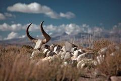 牦牛头骨在西藏 免版税图库摄影