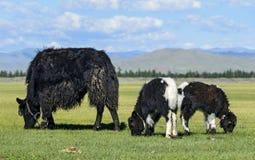 牦牛威胁与两头小牛 库存图片