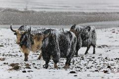 牦牛小组 库存图片