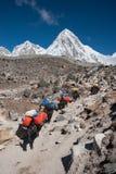牦牛有蓬卡车在尼泊尔的喜马拉雅山 库存照片