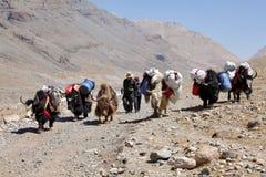 牦牛火车在西藏 免版税库存照片