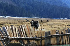牦牛照顾和儿子 免版税库存照片
