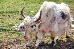 牦牛照顾和小牛 库存照片