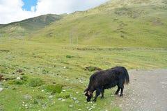 牦牛牛在西藏区域草甸 库存照片